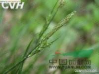 豌豆形薹草