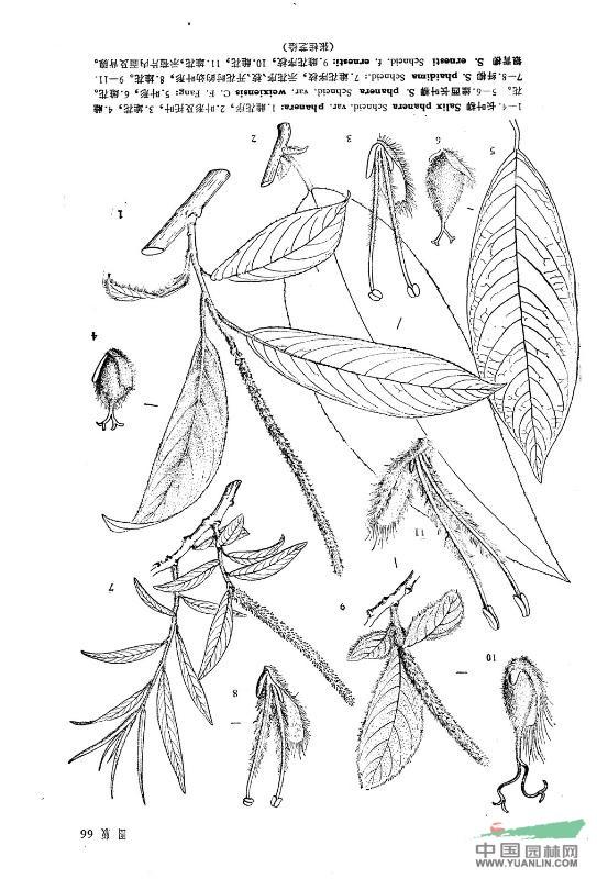 银背柳(原变型)