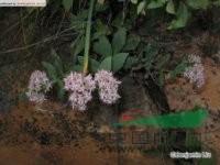 八宝 景天(北京),活血三七(内蒙古植物志),对叶景天(东北植物检索表),白花蝎子草(经济植物手册)