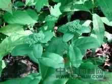 白八宝 白景天 (东北植物检索表), 白花景天、长茎景天(拉汉种子植物名称)