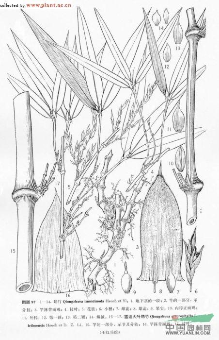 雷波大叶筇竹