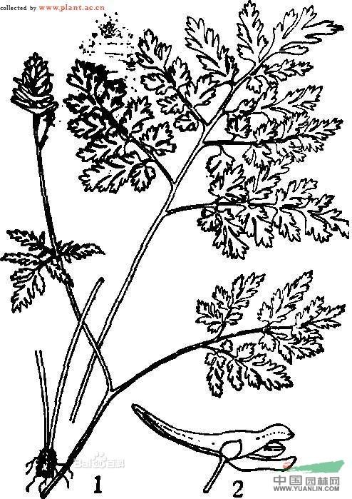 峨参叶紫堇