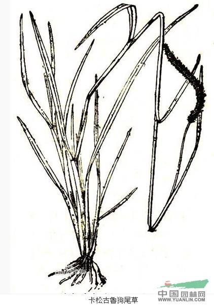 卡松古鲁狗尾草