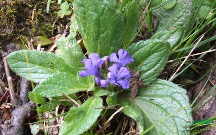 甘草叶紫堇