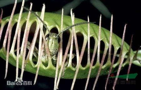 捕蝇草_维纳斯捕蝇草,食虫草