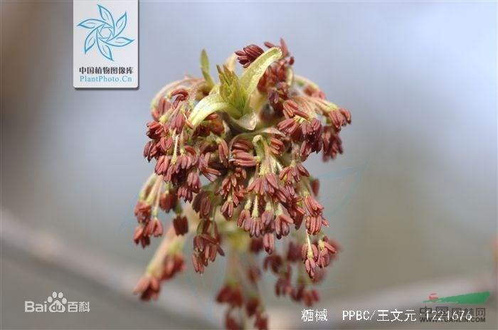 产地分布: 糖槭原产于北美洲(加拿大东部及美国)。我国东北有引种栽培。华东及华南地区亦有栽培。 形态特征: 糖槭落叶乔木(学名:Acer saccharum Marsh)。株高1224米,冠幅可达915米。直立生长,树形为卵圆形。树势雄伟、典雅。单叶对生,长可达10厘米。叶子绿色,秋季会变为黄色至金黄色以至橘红色。