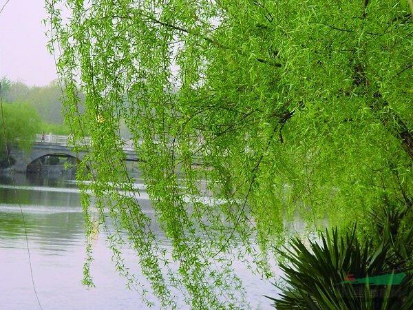 垂柳 水柳 柳树 倒杨柳 垂柳价格 植物库